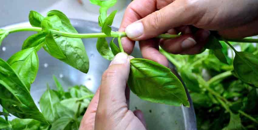 Harvesting Basil Leaves