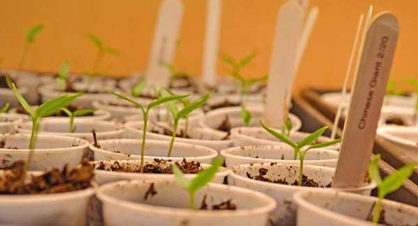 Heirloom Seedlings