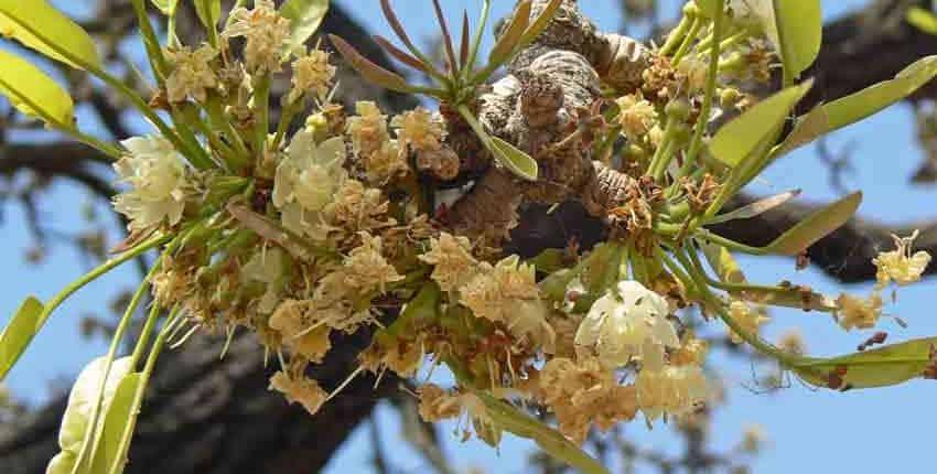 Shea Tree Flowers