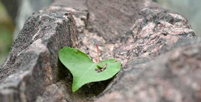 Aspen leaf on granite