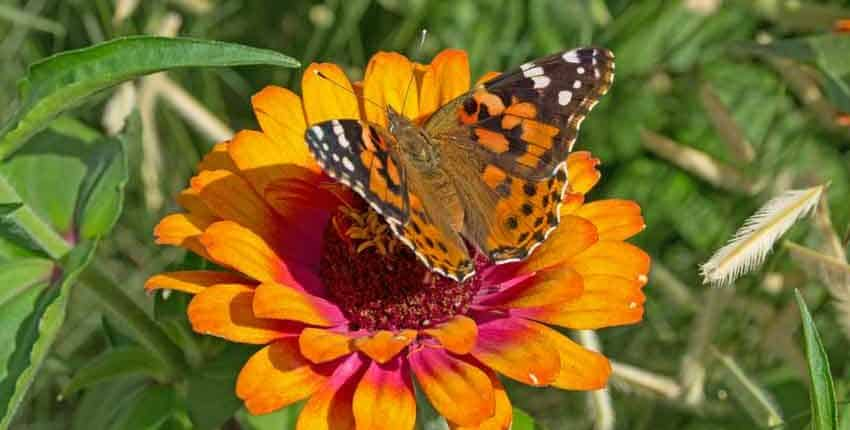 Monarch showing its colors