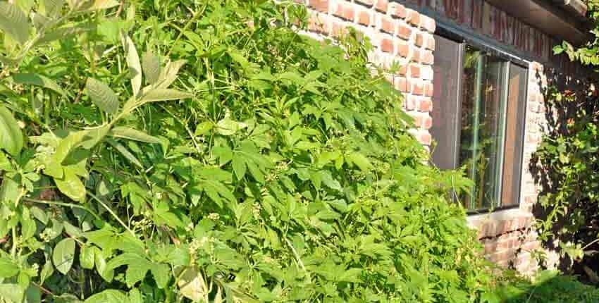 Achocha vine on west wall
