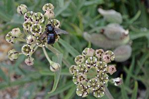 Carpenter Bee on Milkweed