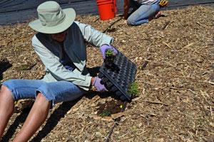 Planting Milkweed Plugs