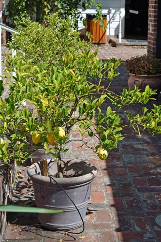 Miniature Lemon Tree