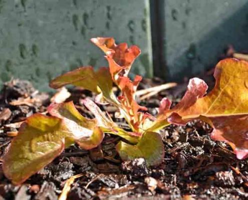 Red Oak Leaf Lettuce