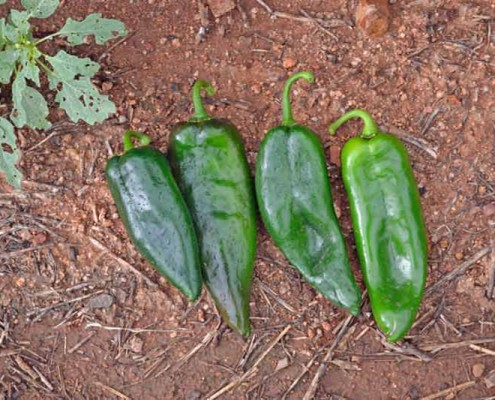 Four Kinds of Heirloom Chiles