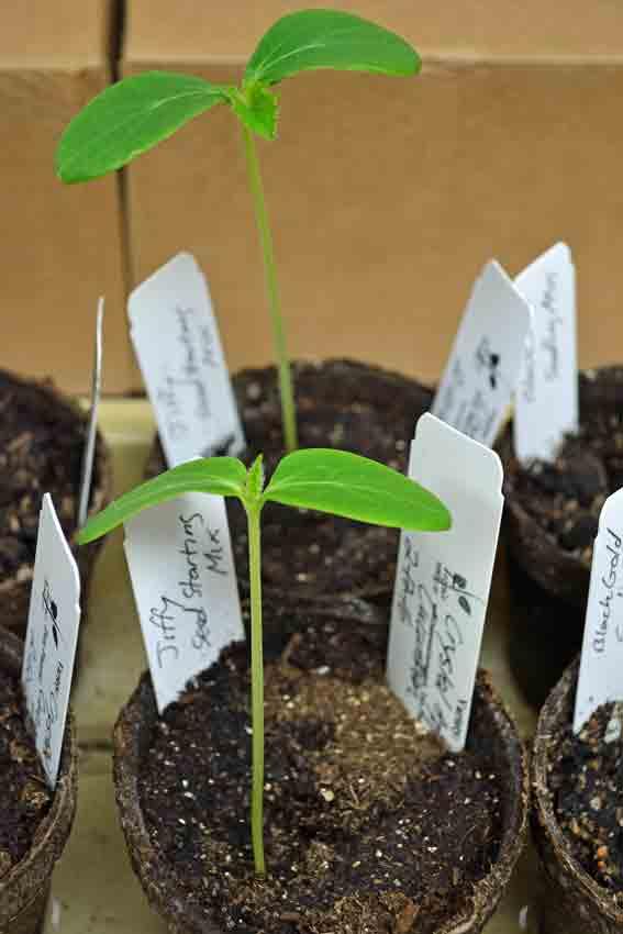 Jiffy Seed Germination