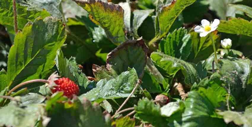 Alpine Strawberry with Flower
