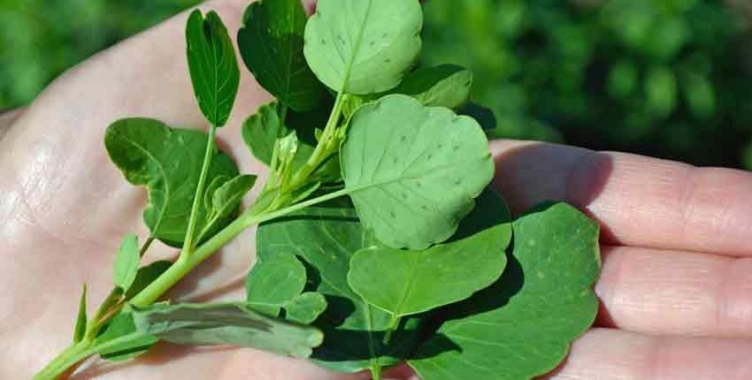 Fresh Papalo Leaves