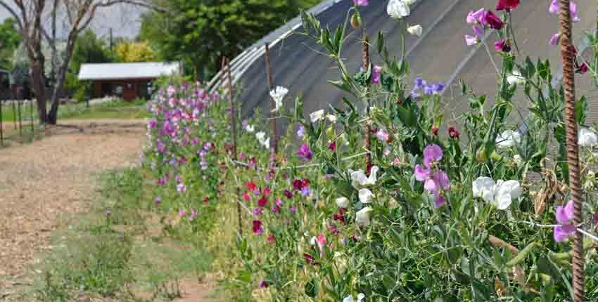 Sweet Peas on Greenhouse