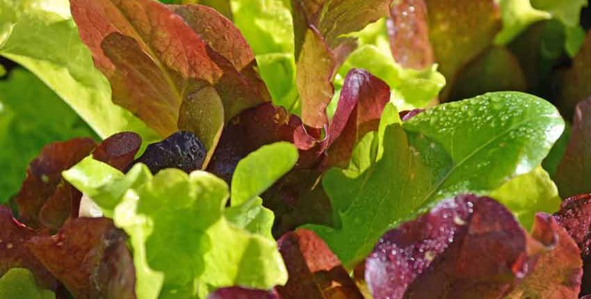 Mini Greens Lettuce Mix