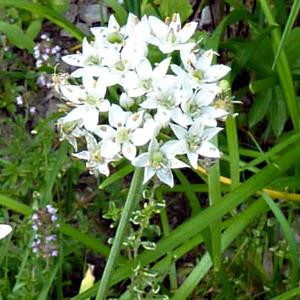 garlic chive blossom