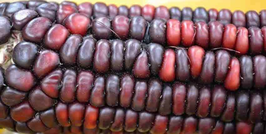 Bloody Butcher Heirloom Corn