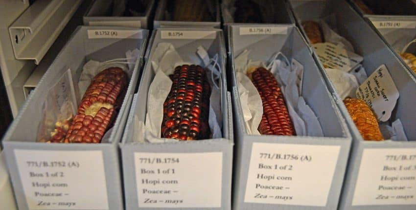 Hopi Heirloom Corn Herbarium