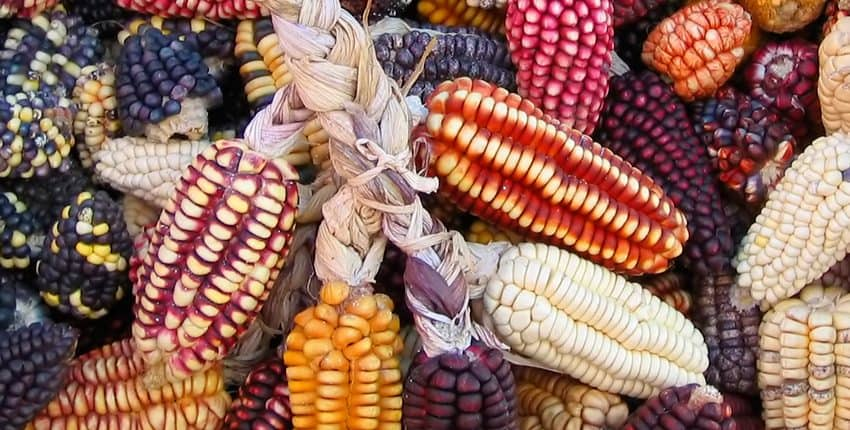 Peruvian Heirloom Corn Display