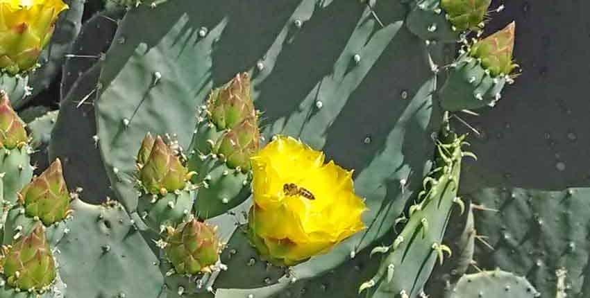 Bee in Prickly Pear Flower - Ethel M Botanic Garden