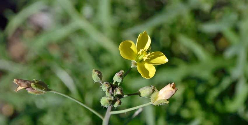 Wild Italian Arugula Flower
