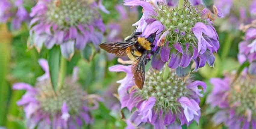 Lemon Bee Balm